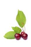 söta Cherry Royaltyfria Foton