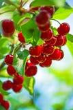 Söta Cherry Fruit på Bracnhen arkivbild