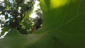 Söta Cherry Gathering Procedure överst av trädet, sol Rays, ultrarapid lager videofilmer