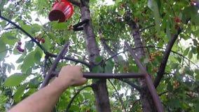 Söta Cherry Gathering Procedure överst av trädet, sol Rays, ultrarapid stock video