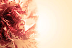 Söta det exotiska färgkronbladet steg på kräm- romantisk lutningbakgrund Arkivbild