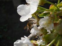 Söta körsbärblommor Arkivbilder