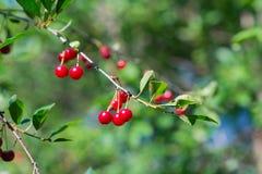 Söta körsbärsröda röda bär på ett slut för trädfilial upp Royaltyfri Foto