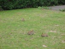söta kaniner Fotografering för Bildbyråer