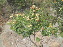 Söta kastanjer på trädet Royaltyfri Fotografi