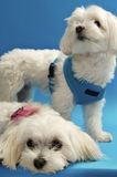 söta maltese pups Fotografering för Bildbyråer
