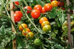 Söta miljon körsbärsröda tomater på växten. Arkivbilder
