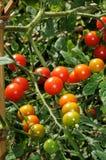 Söta miljon körsbärsröda tomater på växten. Royaltyfri Fotografi