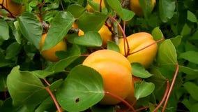 Söta mogna aprikors växer på en filial och skynda sigmyran stock video