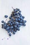 Söta mogna Autumn Grapes Royaltyfri Bild