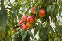 Söta organiska nektariner på träd i stor trädgård arkivbilder