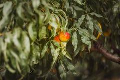 Söta organiska nektariner på träd i stor trädgård med bokeh arkivbilder
