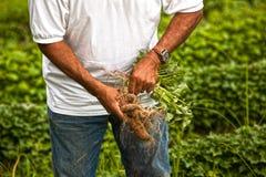 söta organiska potatisar Royaltyfria Bilder