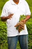 söta organiska potatisar Arkivfoton
