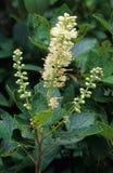 Söta Pepperbush blommor Fotografering för Bildbyråer