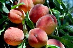 Söta persikor på persikaträdfilialer i trädgården Naturlig frukt fotografering för bildbyråer