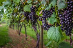 Söta röda druvor Arkivbild
