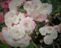Söta vita & rosa rosor i parkerar trädgården royaltyfria foton
