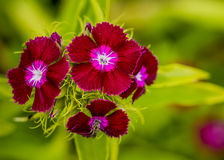 Söta William Flowers On en grön bakgrund Arkivbilder