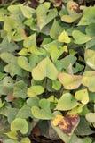 Sötpotatisväxter royaltyfria bilder