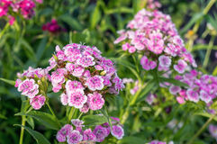 Sötsak-william blommor Royaltyfri Bild