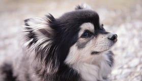 Sötsaken behandla som ett barn chihuahuaen på jordningen royaltyfri foto