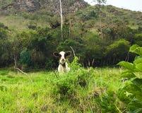 Sötsaken behandla som ett barn kon i Ecuador berg arkivfoton