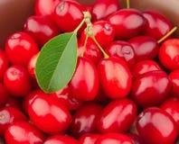 sött övre för tät dogberry royaltyfria bilder
