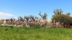 Sött blomma för tulpan arkivfoton