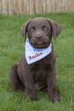 Sött brunt spela för labrador valp Royaltyfri Fotografi