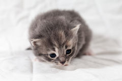 Sött lite grå kattunge i fotostudion royaltyfri bild