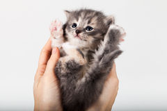 Sött lite grå kattunge i händer royaltyfria foton