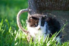 Sött lite svartvit kattunge i korgen royaltyfri fotografi