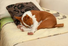Sött poserar sova för den Basenji valpen på en soffa i favorit royaltyfri foto