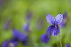 sött violet Royaltyfri Bild