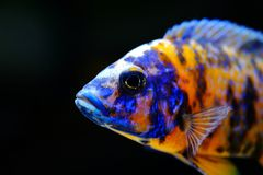 Sötvatten för akvariefisk för afrikanMalawi cichlid royaltyfri foto