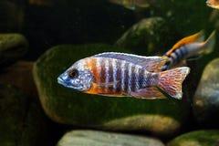 Sötvatten för akvariefisk för afrikanMalawi cichlid Fotografering för Bildbyråer