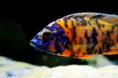 Sötvatten för Malawi cichlidAulonocara akvariefisk Fotografering för Bildbyråer