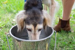 Sötvatten för Saluki hunddrink royaltyfri bild