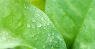 Sötvattendroppe på grennbladbakgrund Arkivbild