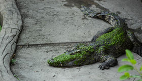 Sötvattenkrokodilen bor på jordning i krokodillantgård Royaltyfri Fotografi