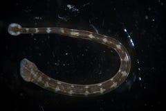 Sötvattens- blodsugarePiscicola geometra Blodigel vid mikroskopet Arkivbilder