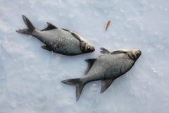 Sötvattens- braxen (Abramisbramaen) lies russia transbaikalia för fiskfiskeis bara blockerade vinter Royaltyfri Foto