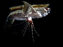 Sötvattens- butterflyfish Fotografering för Bildbyråer