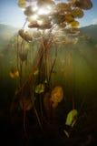 Sötvattens- damm, solljus och Lily Pads Royaltyfria Foton