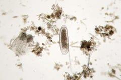 Sötvattens- encellig mikroorganism Toppen makro för Zooplankton fotografering för bildbyråer
