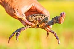 sötvattens- hand thailand för krabba Royaltyfri Bild