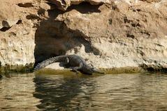 Sötvattens- krokodil arkivfoton