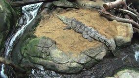 Sötvattens- krokodil 1 stock video