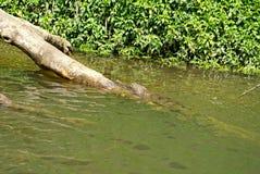Sötvattens- krokodil i Barron River royaltyfria bilder